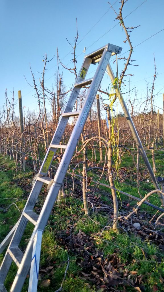 apple pruning new zealand