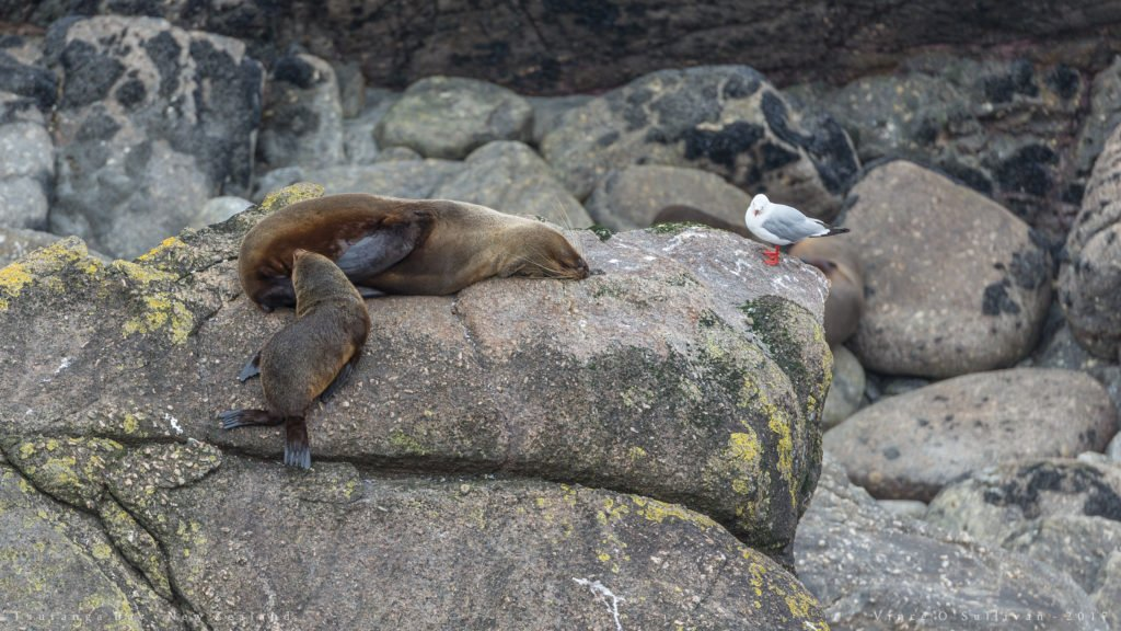 new zealand seals in tauranga bay