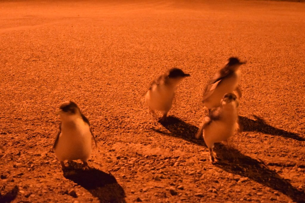 new zealand penguins