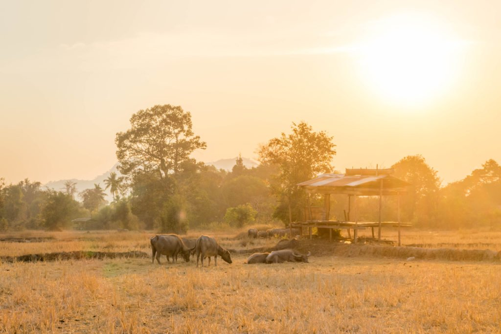 sunset in paddy fields in don khon 4000 islands buffaloes