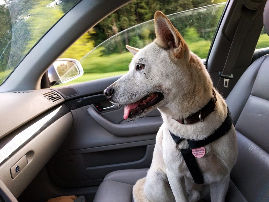 Traveling with Pet Dog in a Car